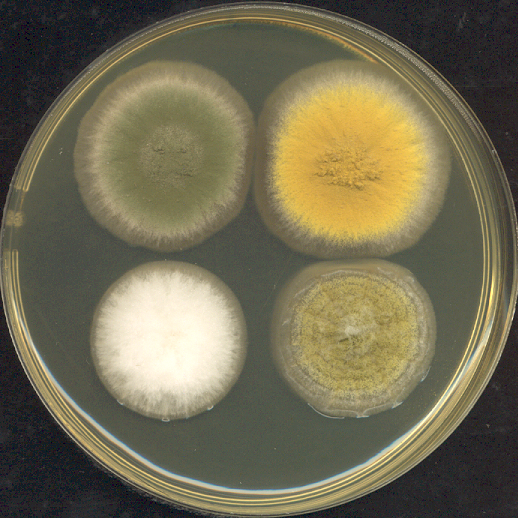 Four_3-day_old_Aspergillus_colonies_on_a_Petri_dish